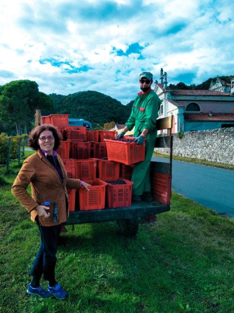 Vendemmia 2020 di Le Vie Angarano, Bassano del Grappa